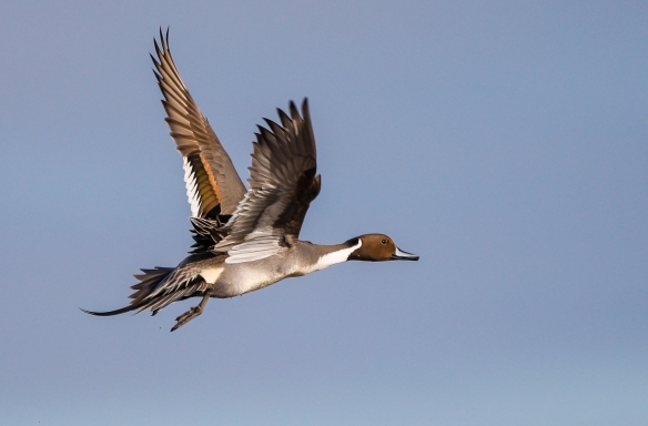pintail flying over