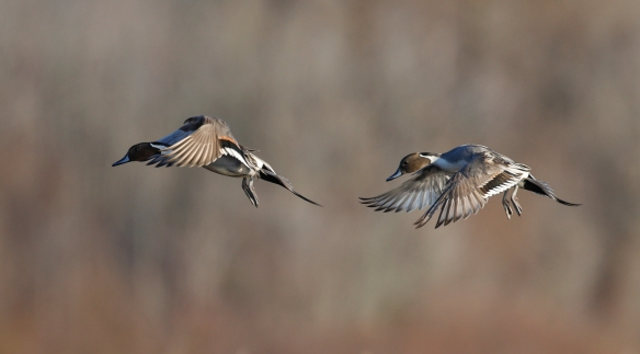 pintails setting their wings to land