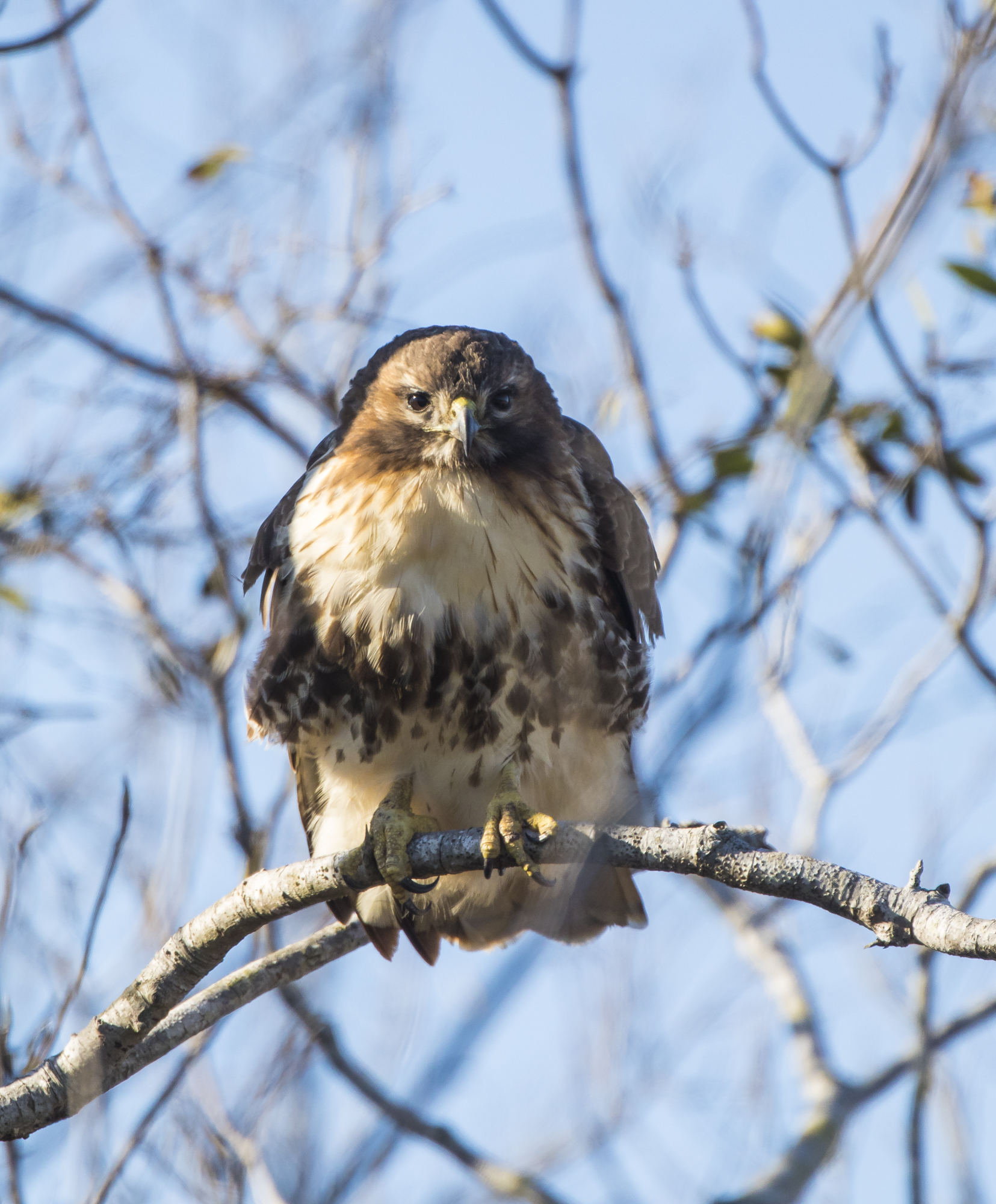 Red-tailed hawk ARNWR