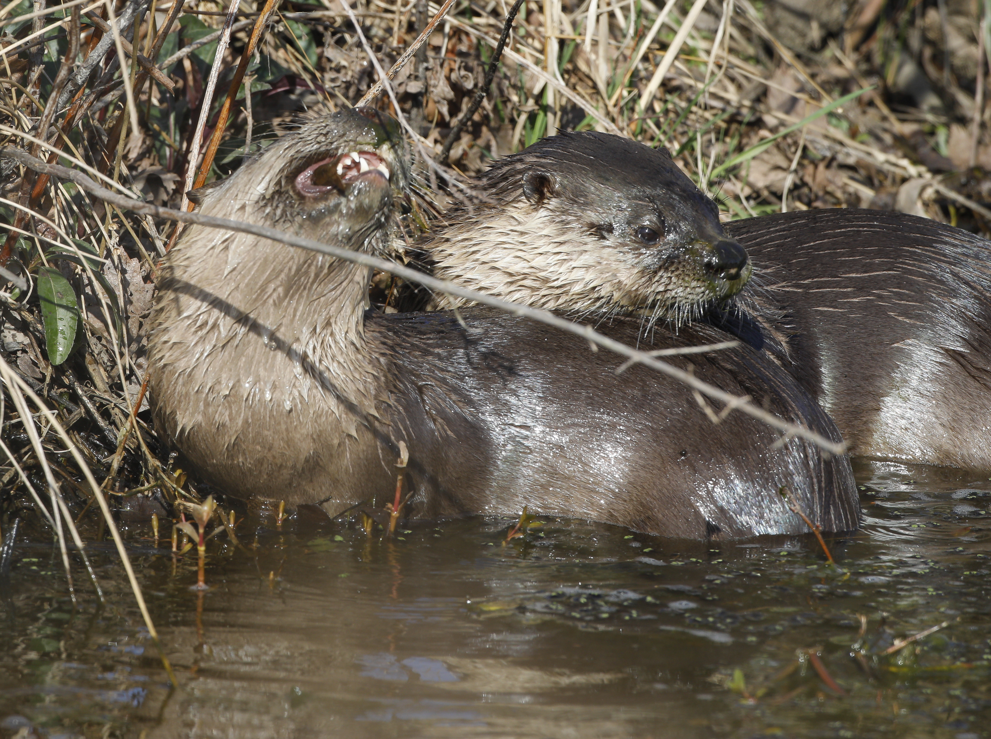 river otters in D-canal
