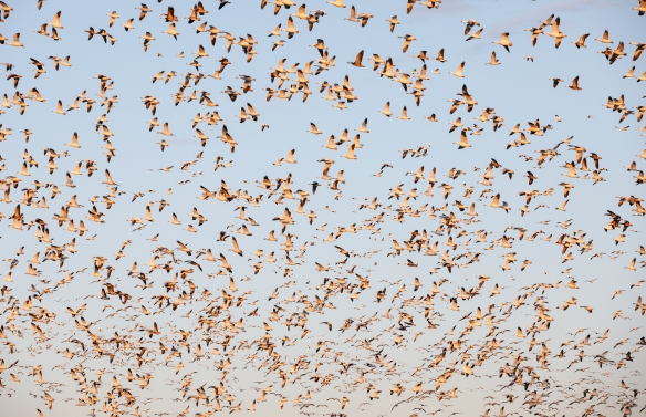 sno geese flying over field