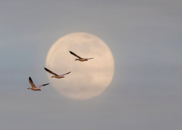 Snow geese and moon 1