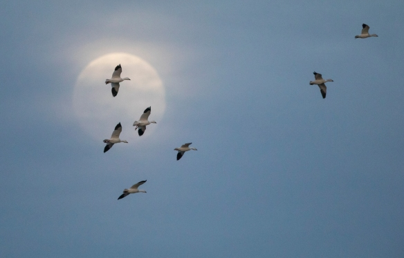 Snow geese and moon 2