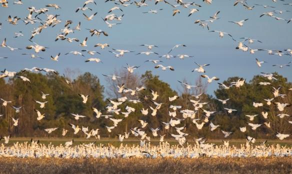 snow geese landing in field