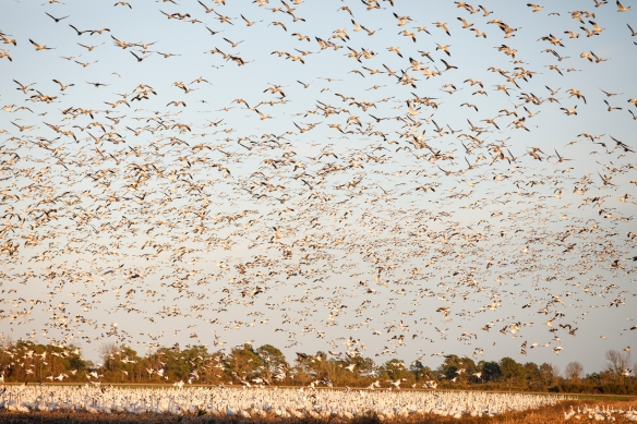 Snow geese landing with swans in field