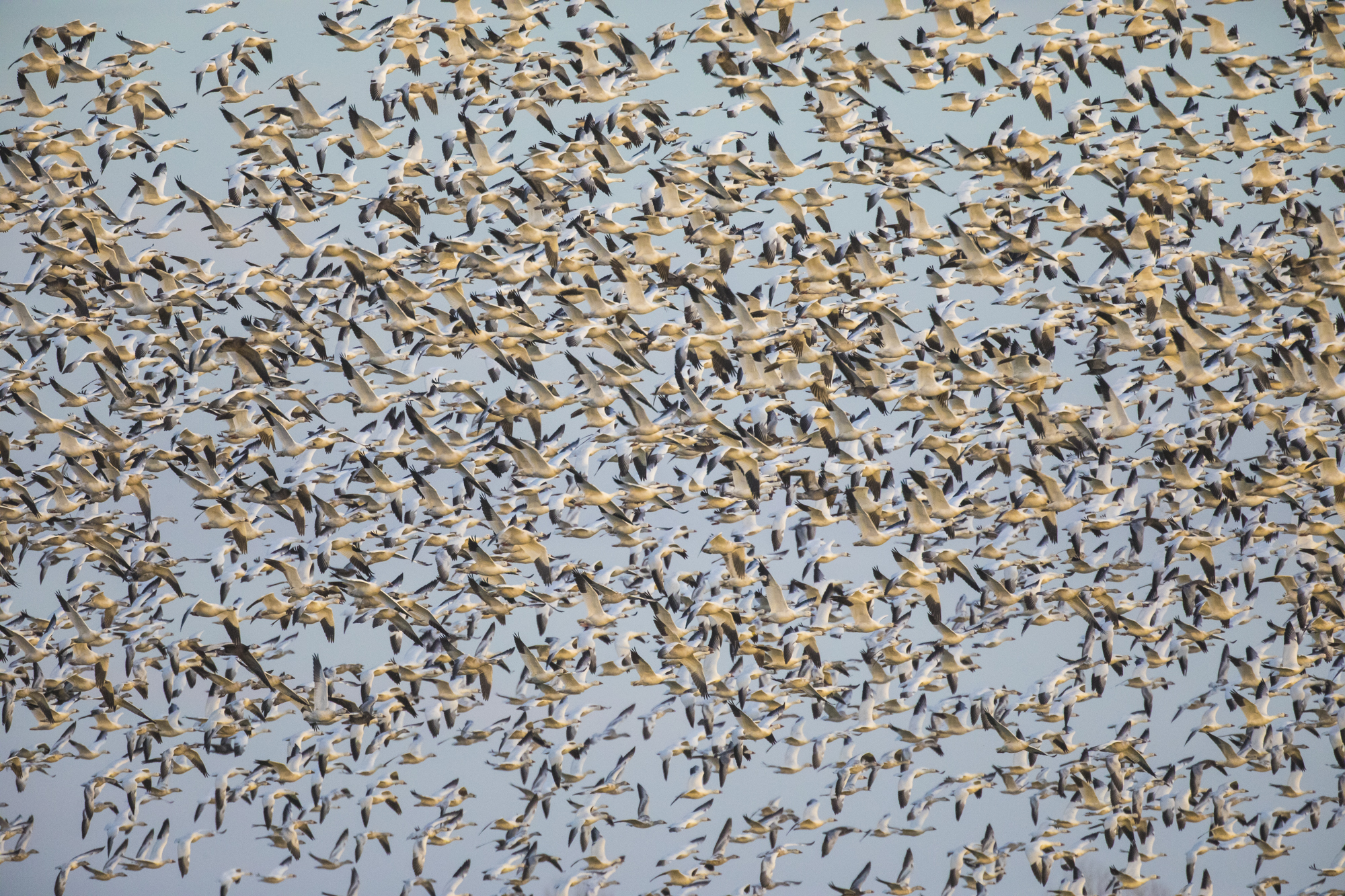 Snow geese take off afer jet flyby