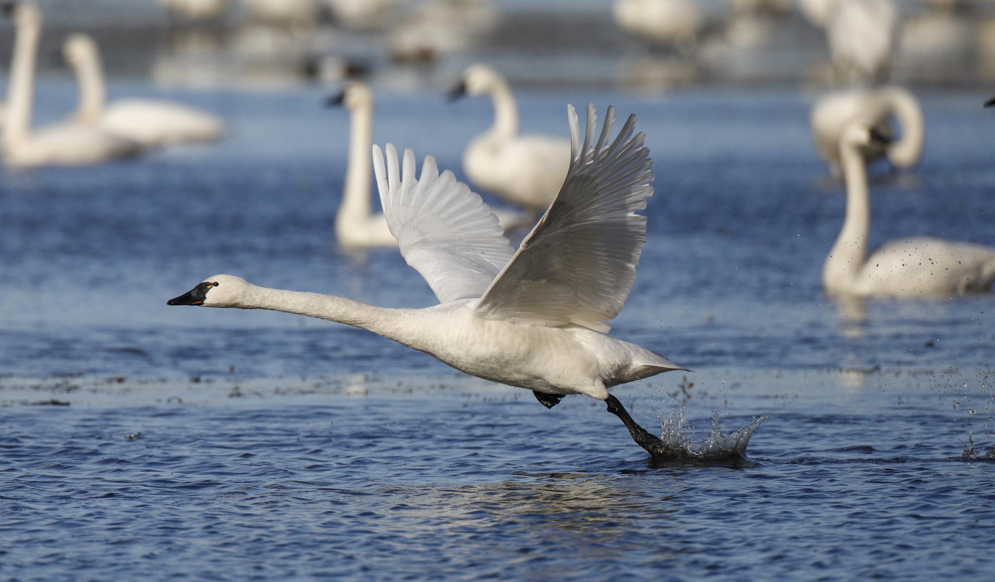 Swan running to take off