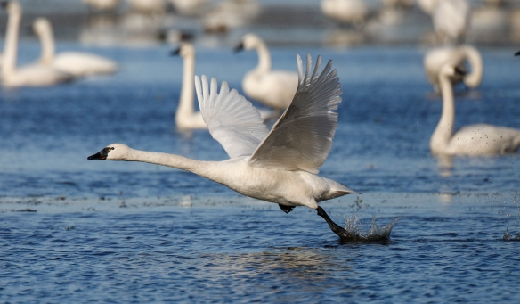 Swan running to take off