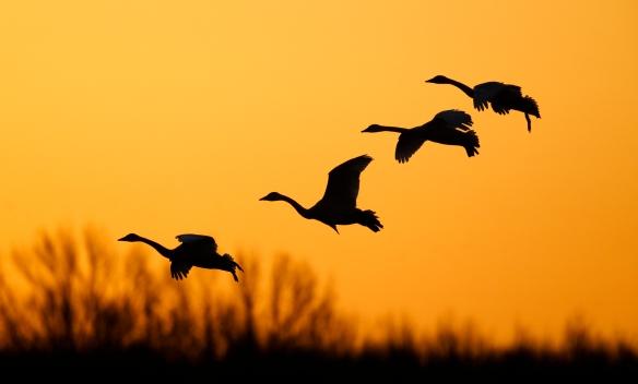 Swans landing at sunrise