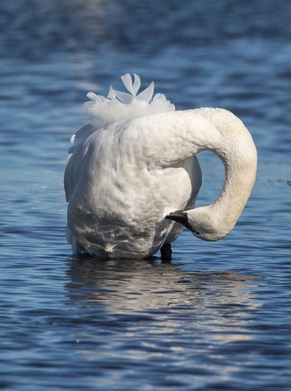 Tundra swan preening
