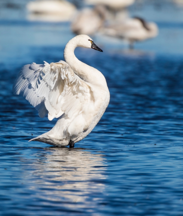 Tundra swan wing flap