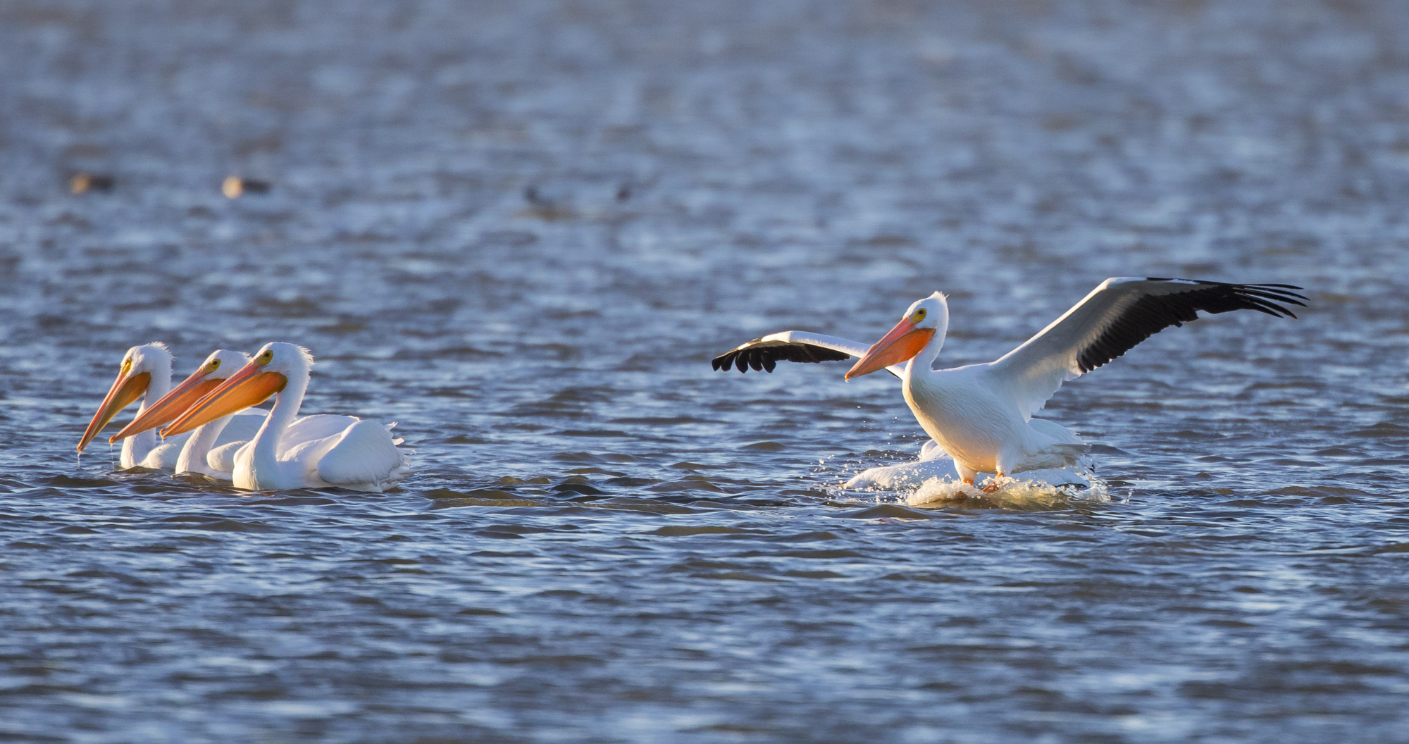 White pelicans at Pea Island