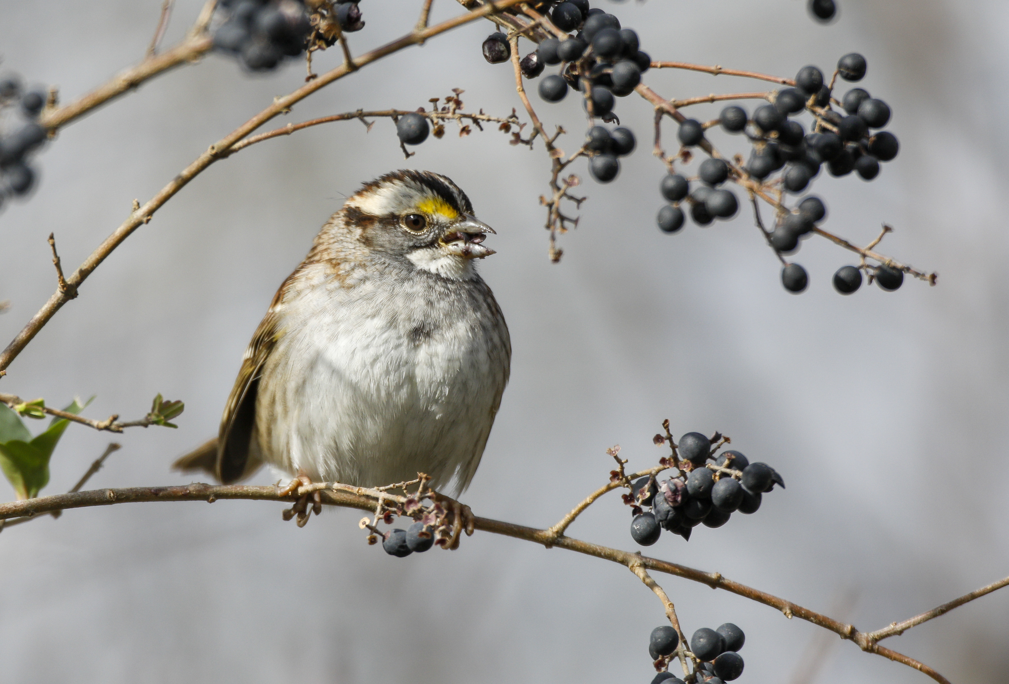 white-throated sparrow eating privet berry