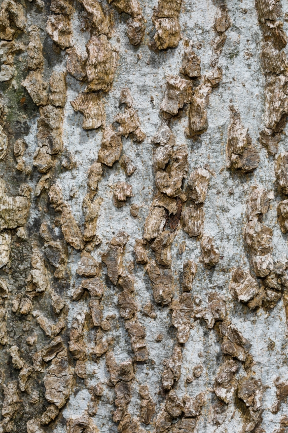 Celtis bark