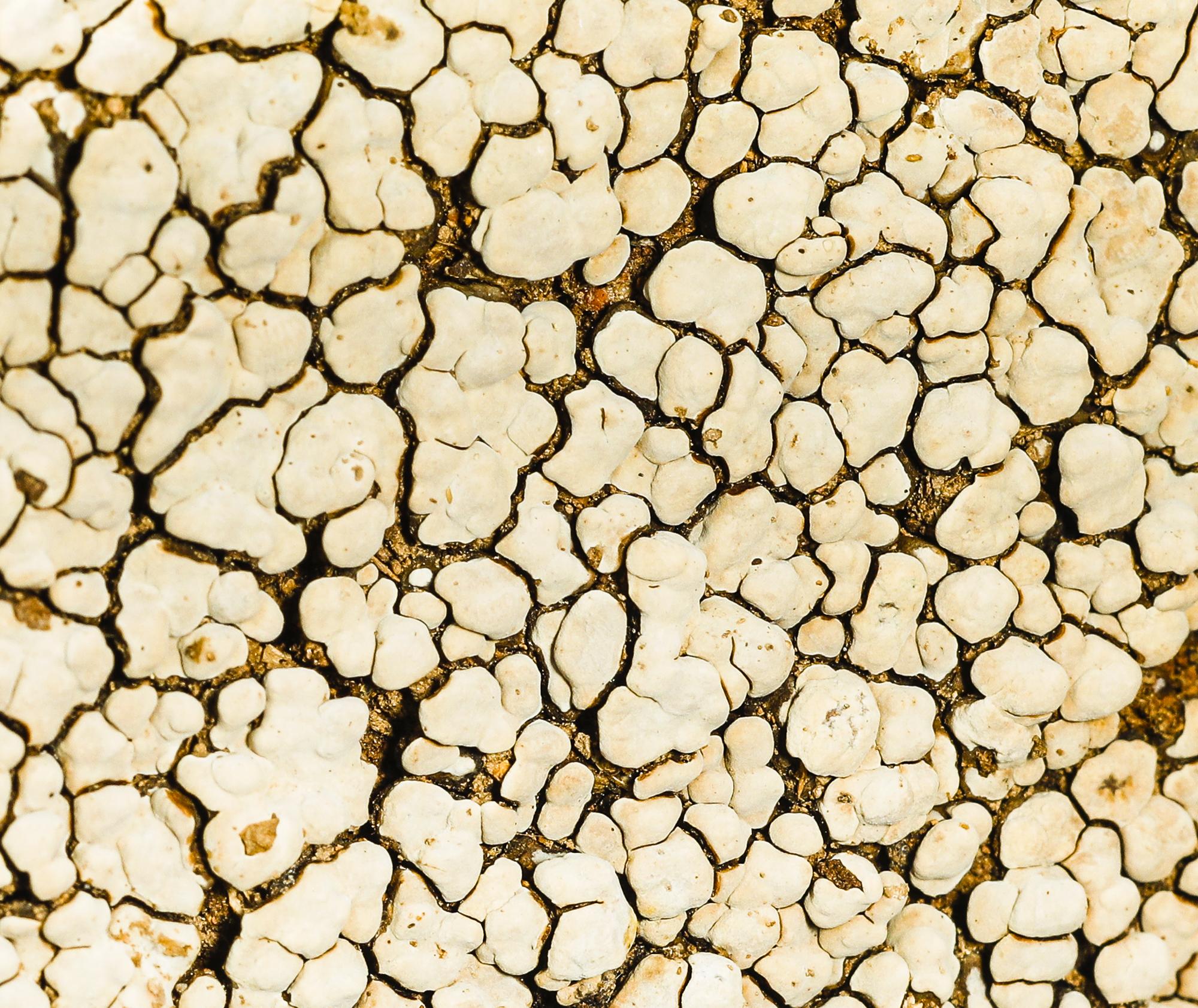 ceramic fungi (Xylobolus frustulatus))