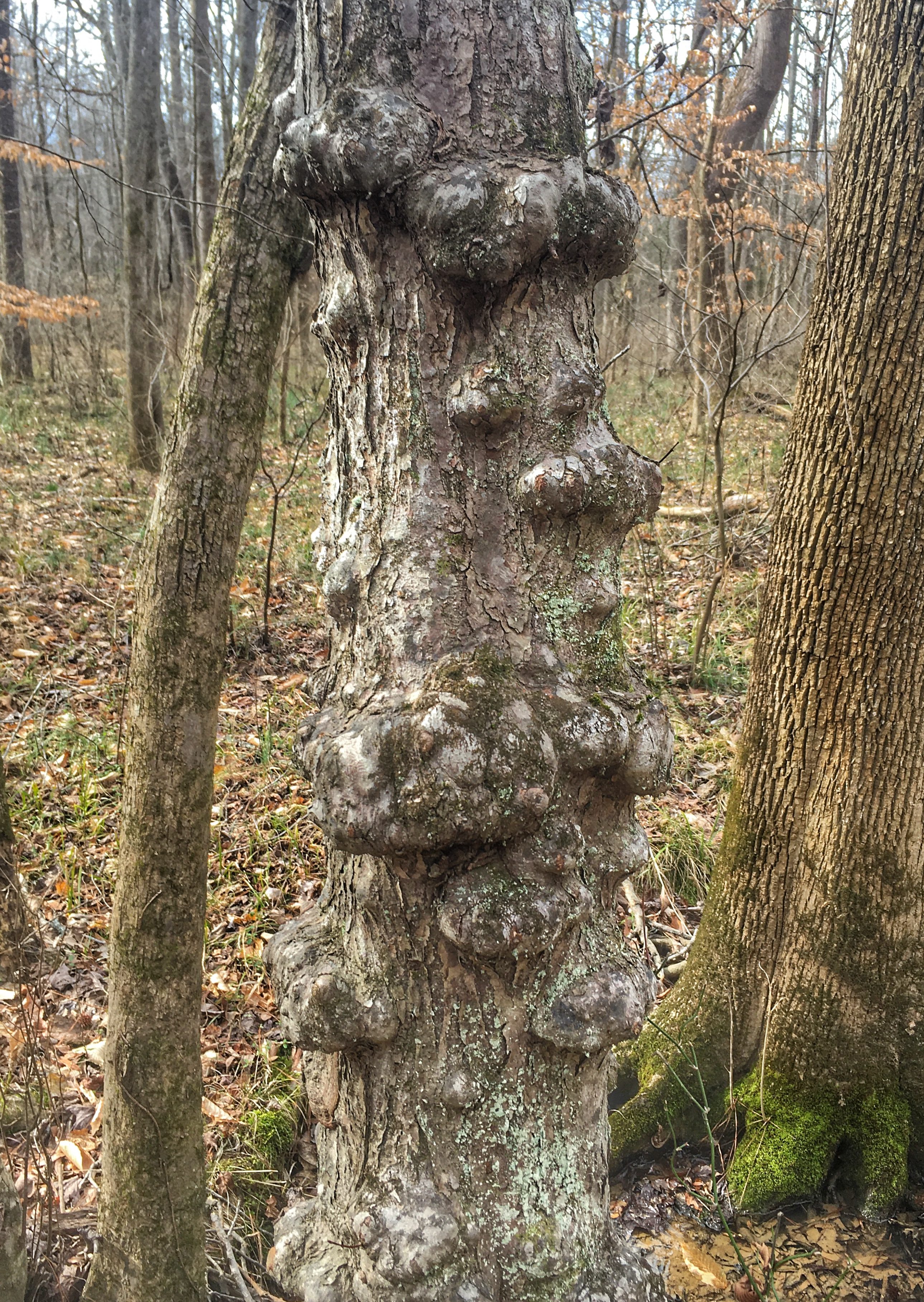 gnarly maple trunk