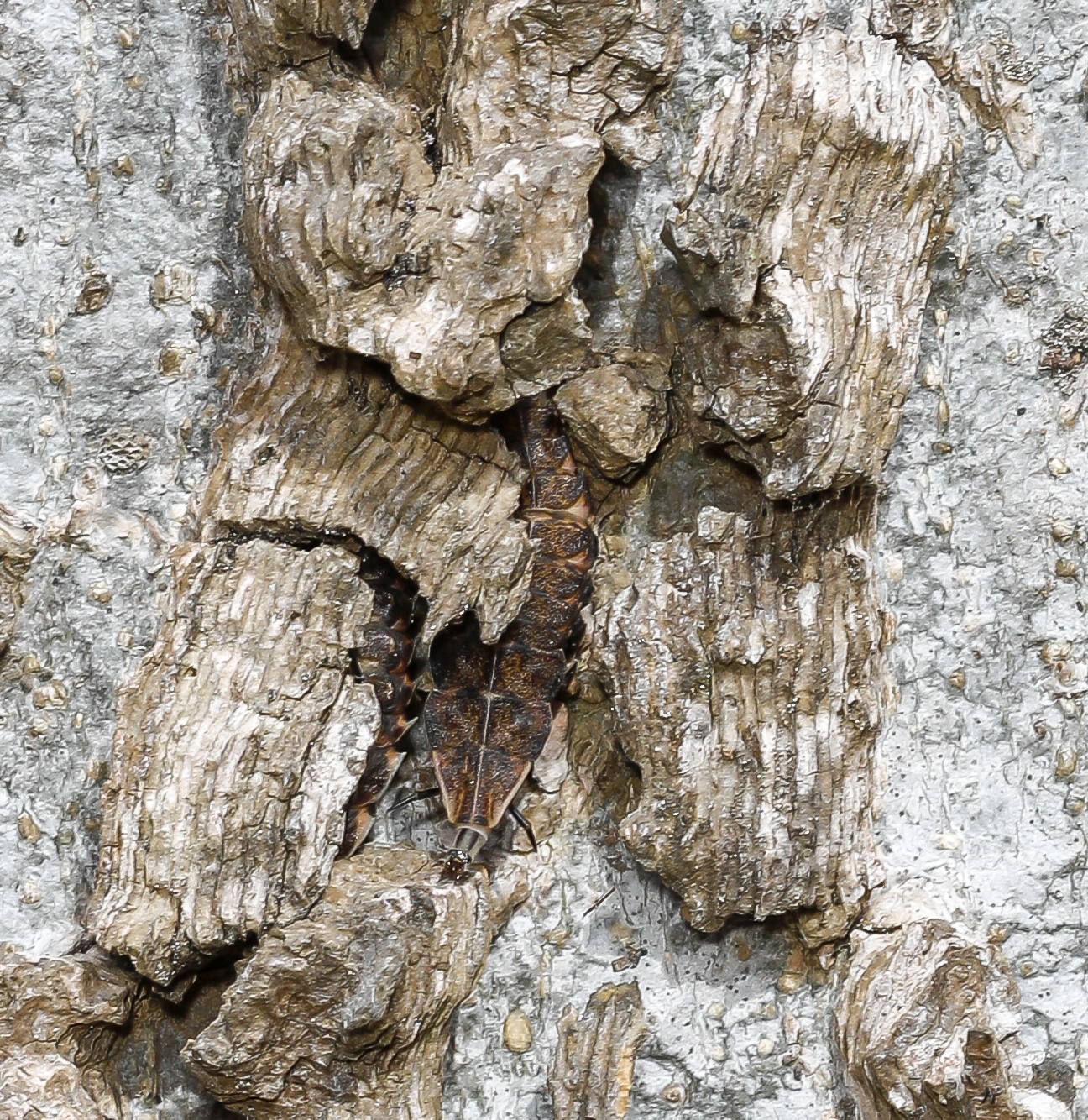 insects hiding in Celtis bark