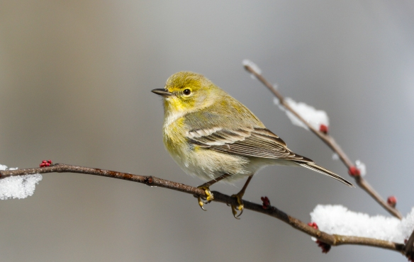 pine warbler on branch