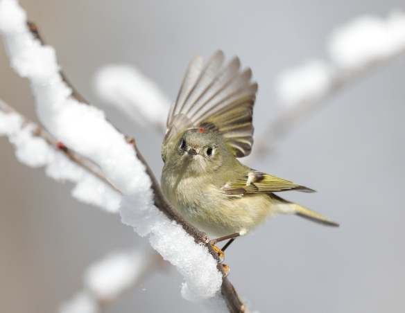 ruby-crowned kinglet  with wing outstrecthed