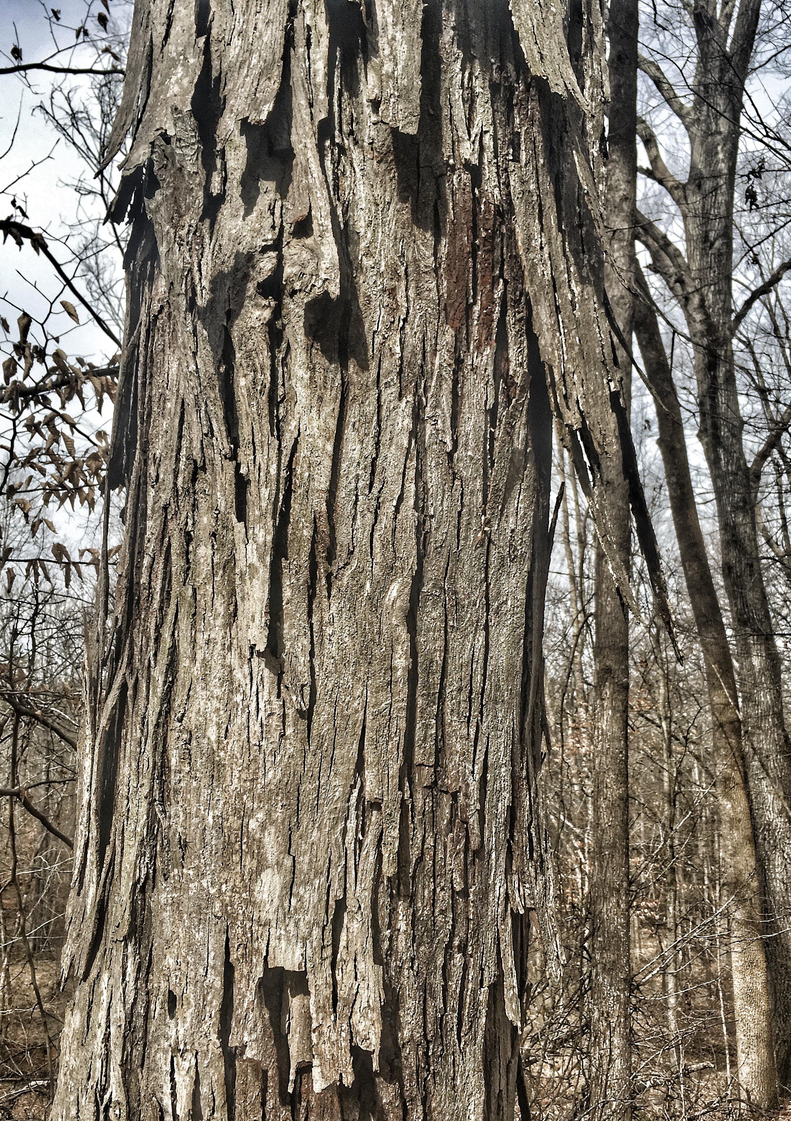 shagbark bark
