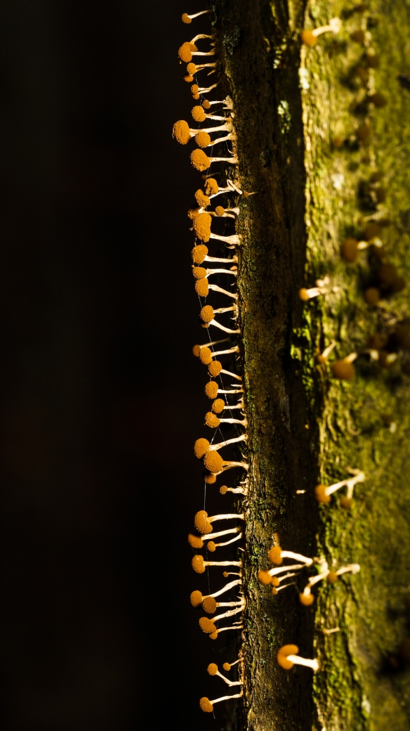 slime mold reproductive structures on tree trunk 1?