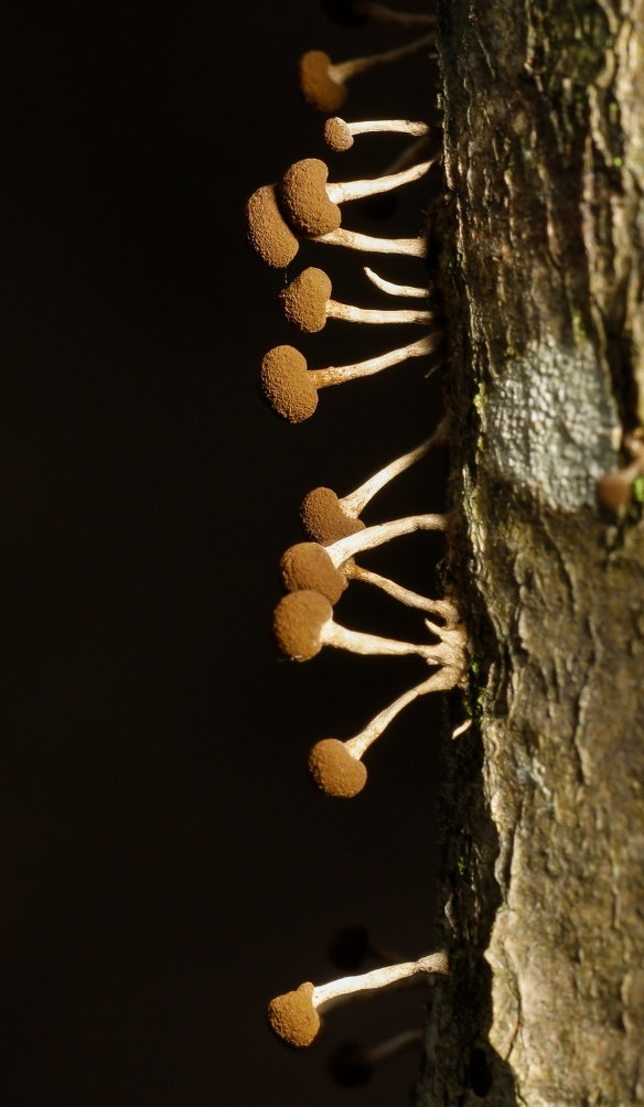 slime mold reproductive structures on tree trunk close up?