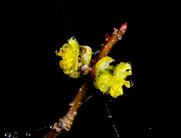 spicebush blooms