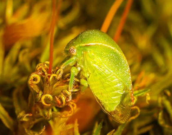 Spissistilus festinus - Three-cornered Alfalfa Hopper ?