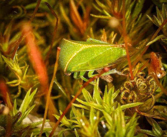 Three-cornered alfalfa hopper