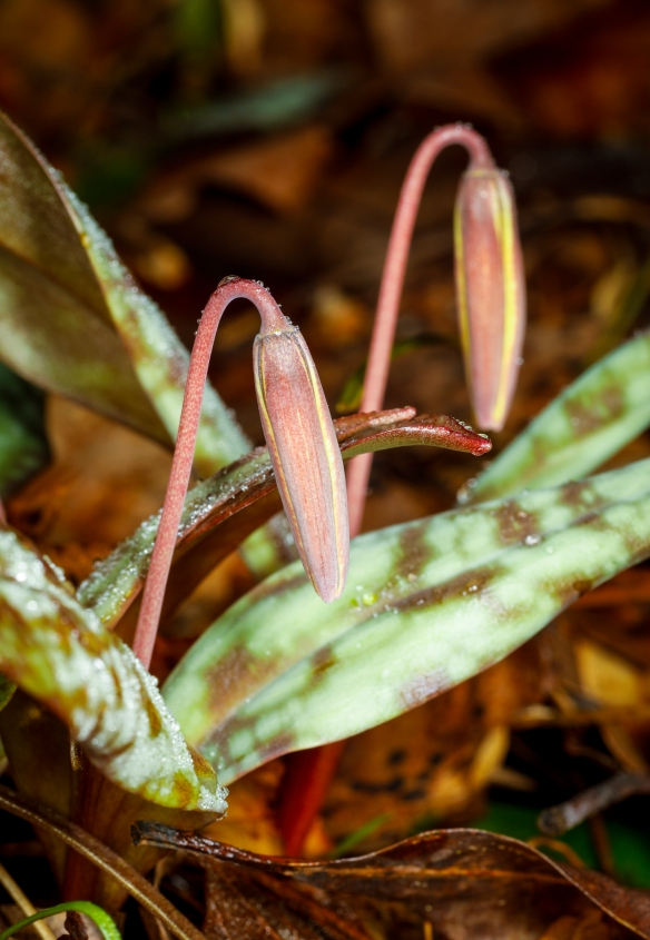 Trout lily flower buds