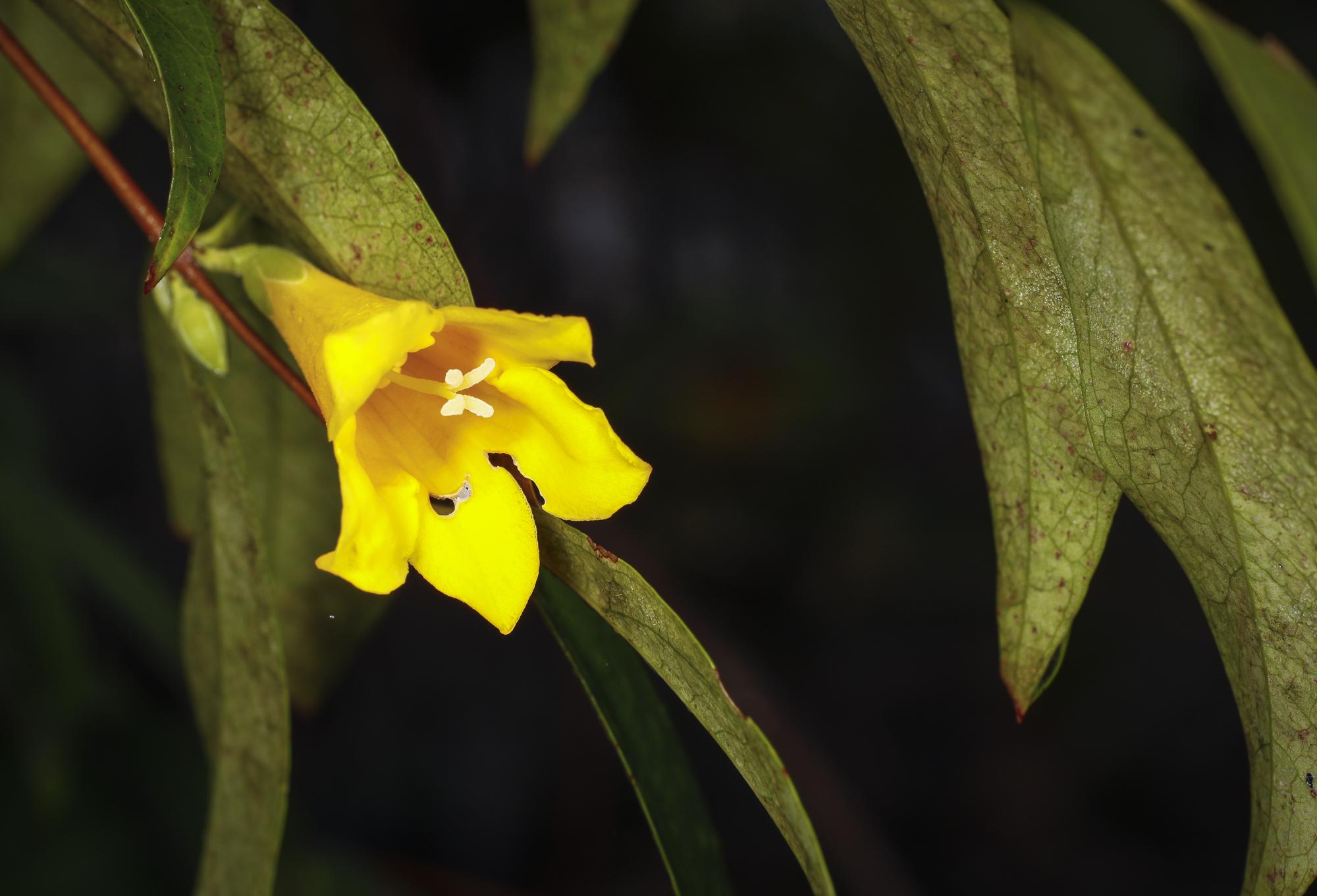 yellow jessamine flower