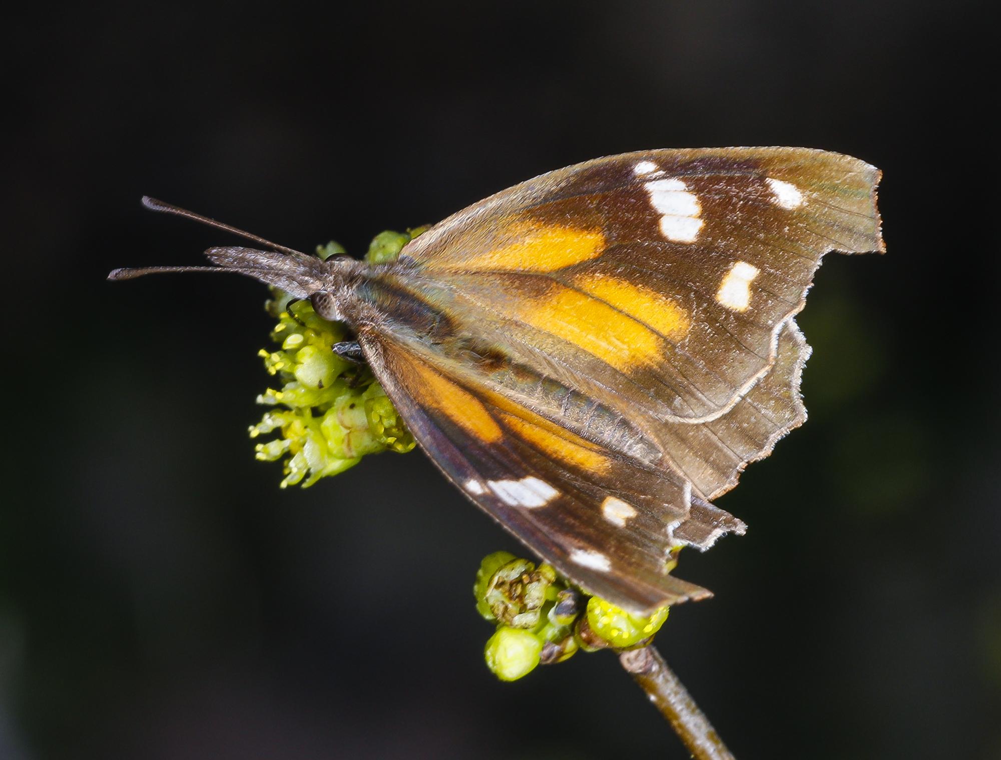 American snout butterfly on spicebush wings spread