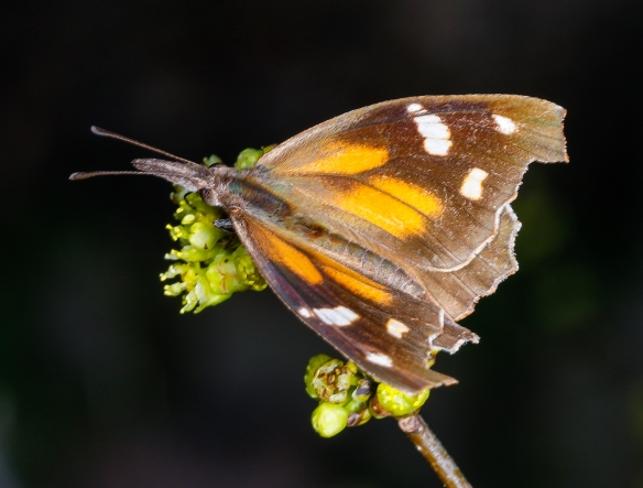 American snout butterfly on spicebush wings spread