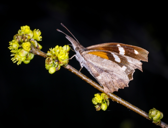 American snout butterfly on spicebush