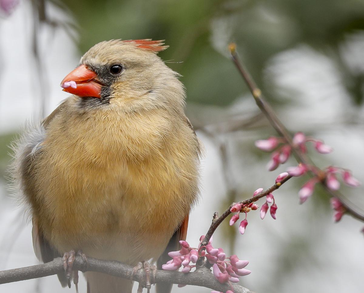 cardinal eating redbud flower close up