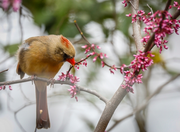 cardinal eating redbud flower