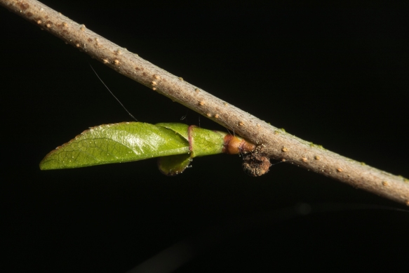 cherry tree mystery 2