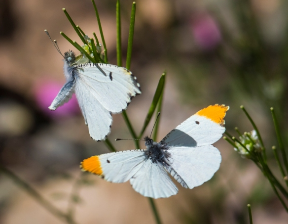 Falcate orangetip butterflies mating behavior 1