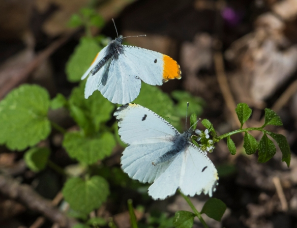 Falcate orangetip butterflies mating behavior 2
