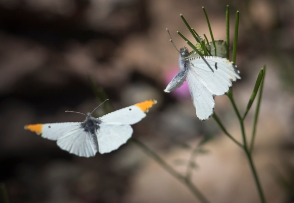 Falcate orangetip butterflies mating behavior