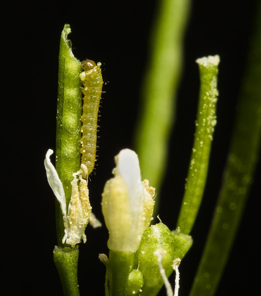 Falcate orangetip larva first instar 2 days old
