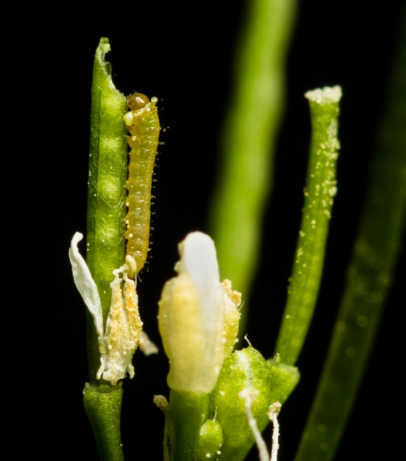 Falcate orangetip larva first instar 2 days old