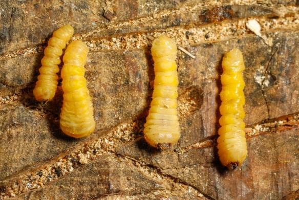 Hickory borer beetle grubs