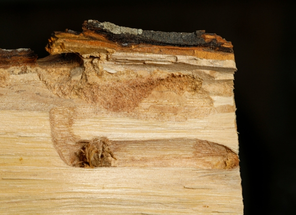 Hickory borer beetle larval chamber