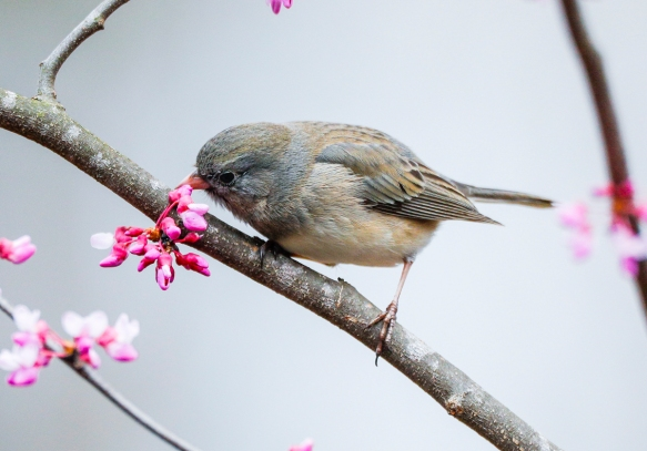 junco eating redbud 1