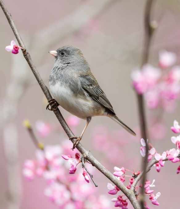 junco in redbud