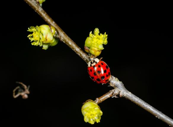 Lady beetle on spicebush