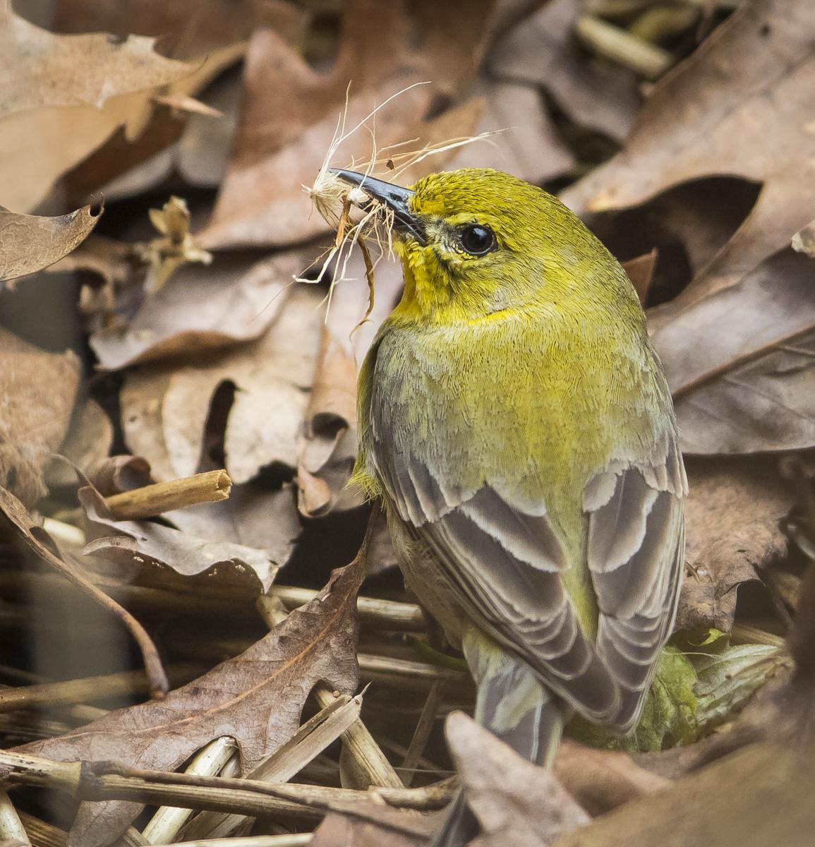 pine warbler gathering nesting materials