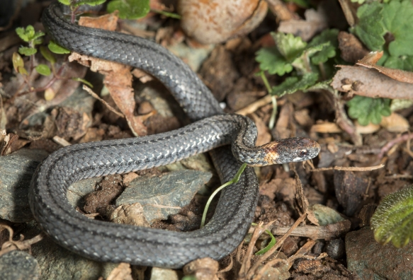 red-bellied snake 2