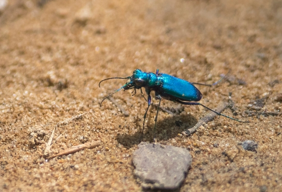 Six-spotted tiger beetle blue morph